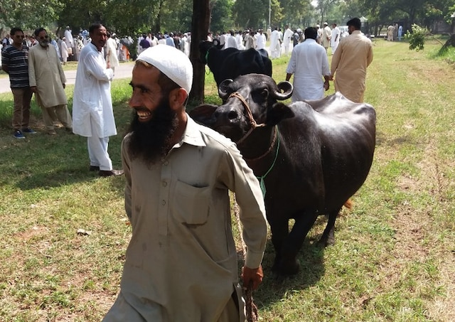 Cash-starved Imran Khan govt auctions 8 buffaloes kept at PM House