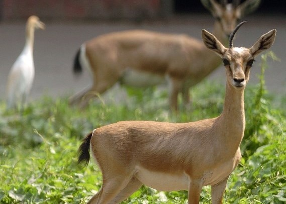 Deer in Thar Desert fall prey to domestic dogs