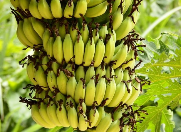 Raw Banana is Beneficial in Diabetes