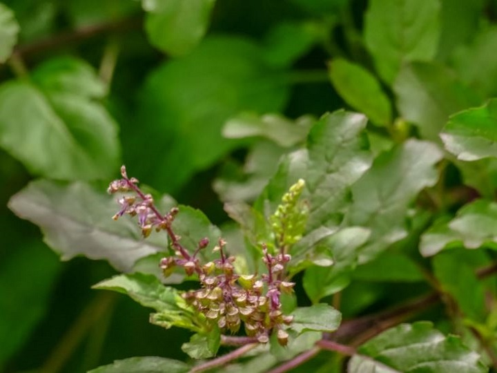 Drink Tulsi Kadha To Boost Your Immunity And Keep Health Problems At Bay