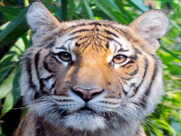 America, Tiger, Positive, Coronavirus, Bronx zoo