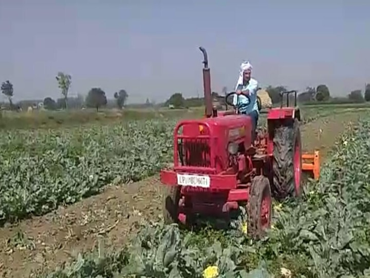 Delhi: The cost of cabbage crop is not coming out, farmers are being forced to run tractors on the crop ANN