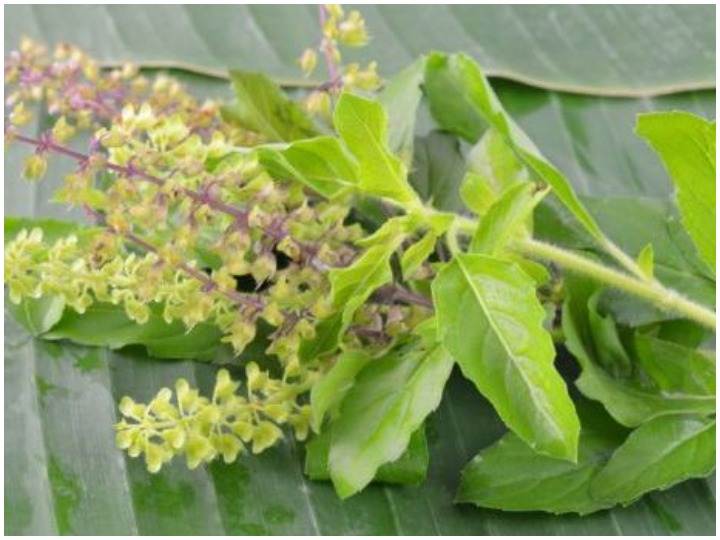 Get rid of fever cough and throat problem by eating basil leaf